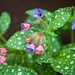 Pulmonaria saccharata 'Mrs. Moon' -  Lungwort or Bethlehem Sage