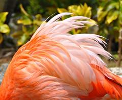 The beauty of feathers (Stella Blu) Tags: pink stella orange bird dominicanrepublic blu repblicadominicana bigmomma gamewinner nikkor18200 stellablu flamingofeathers agcgwinner nikond5000 storybookwinner pregamewinner