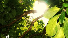 Leaves (NockOffProductions) Tags: sun tree green leaves day branch bright