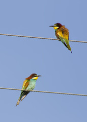 European Bee-eaters / Merops apiaster /  (Panayotis1) Tags: nature birds canon aves greece animalia meropsapiaster europeanbeeeater merops chordata meropidae  coraciiformes canonef400mmf56lusm imathia    66 tafros66 kenkopro300afdgx14x