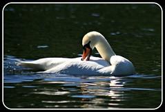 Preening (Read2me) Tags: white reflection bird water boston square swan frame publicgarden cye gamewinner challengeyouwinner thechallengefactory herowinner superherochallengewinner pregamewinner