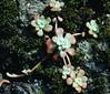 Sedum_spathulifolium_2_2 (Mark Egger) Tags: crassulaceae sedumspathulifolium
