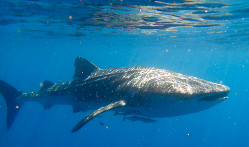 Snorkelling with a 7 metre whale shark!