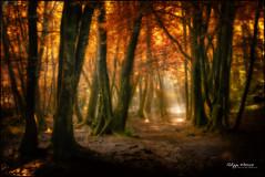 le val sans retour (philippe MANGUIN photographies) Tags: wood tree nature forest landscape nikon arbres merlin d90 broceliande paimpont concoret arthurianlegend valsansretour trehorenteuc arbredor philippemanguin wwwphotosdebretagnecom