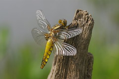 Broard-bodied Chaser Dragonfly-Libellula depressa (Phasmomantis) Tags: specanimal unlimitedinsectslevel1 unlimitedinsectslevel2 unlimitedinsectslevel3