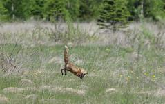 Red fox hunting - jump2 (Natimages) Tags: jump pentax fox hunt k5 redfox da3004