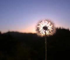 (skyekz) Tags: california blue sunset plant mountains gold one weed glow fluffy dandelion single glowing idyllwild wish wishing