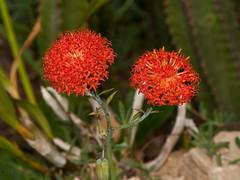 Kleinia (Eerika Schulz) Tags: botanischer garten tallinn kleinia eerika schulz