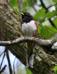 Eastern Towhee (jannagal) Tags: usa bird nature canon michigan wildlife towhee stonycreekmetropark easterntowhee pipiloerythropthalmus jannagal jannagalski