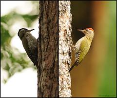 Streak-throated Woodpecker (....Nishant Shah....) Tags: india male bird nature birds female woodpecker bokeh wildlife karnataka kabini 300mmf28 rajivgandhinationalpark streakthroatedwoodpecker picusxanthopygaeus nikond90