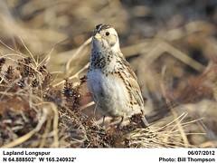 Lapland Longspur (Bill.Thompson) Tags: birds female ak laplandlongspur calcariuslapponicus