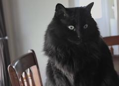 #17 Make a formal portrait of a companion animal. ( Head shot) (byrdiegyrl) Tags: black june cat georgia chat milo headshot gato savannah furball badboy 2012