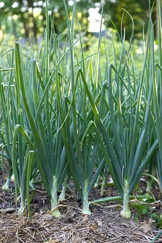 Storage Onion Crop