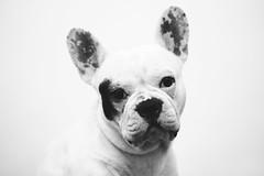 Kal-El II (María Granados) Tags: blackandwhite dog cute blancoynegro 50mm adorable frenchie frenchbulldog grayscale bulldogfrances