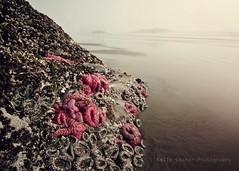 Squish (KellyCosterPhotography) Tags: ocean light mist beach misty fog sand bc starfish foggy tofino lowtide seastars 40d kellycoster