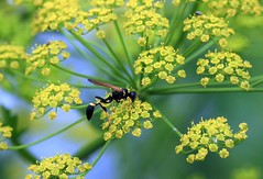 curious wasp in parsnip
