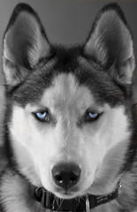 Blue Eyes (Ghost2307) Tags: blue dog pet white black cute animal puppy heidi eyes nikon husky wolf derbyshire siberian chesterfield 18105 d90