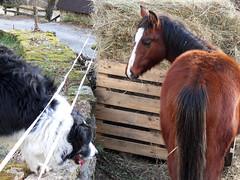 Satyavan, poulain Quarter-Horse - 2011 (Ferme Equestre de Trphy) Tags: horse france cheval stallion correze corrze quarterhorse limousin yearling poulain qh gelding talon hongre satyavan elevagedechevaux trephy trephyquarterhorses