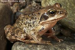 Rana kukunoris: Plateau Brown Frog (Todd W Pierson) Tags: amphibian frog todd rana pierson anura amphibia ranidae anuran toddpierson kukunoris