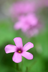 Pink! (JonTaylor71) Tags: macro green closeup petals nikon bokeh flowercloseup sorrel flowermacro dcr250 raynox pinkpetals raynoxdcr250 hbw greenbokeh pinkbokeh d7000 pinksorrel nikond7000 sorrelmacro sorrelcloseup