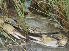 Blue Crab (Lighthouse Rd) (stinkenroboter) Tags: bluecrab callinectessapidus