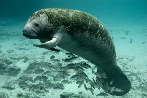 Endangered Florida manatee (Trichechus m by USFWS Headquarters, on Flickr