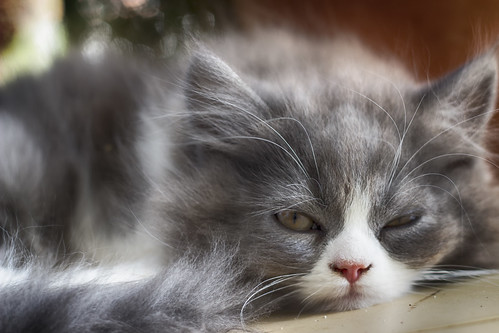 IMG_0045 (vivids8) macro cat gatto mfcc eos650d