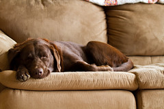 Maggie on the Couch (TaylorB90) Tags: pet cute loving canon friend lab funny labrador sweet chocolate maggie retriever 7d caring taylorbennett 5d2 t1i