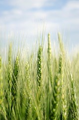 Ripening 01 (Arkadaslik Yachting) Tags: green nikon bokeh wheat crop nikkor shallowdof sh74 1855mmf3556gvr d5100 tp260