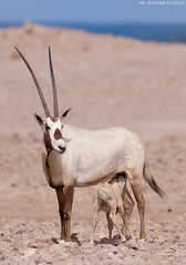 - Arabian Oryx (arfromqatar) Tags: qatar arabianoryx nikond300 nikon200400mm  arfromqatar