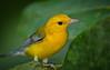 Prothonotary Warbler (Appalachian Hiker) Tags: kayak prothonotarywarbler kenko14xtc nikon300mmf4 nativeultimate12kayak