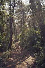 Arrivando a Baia dei turchi (Raúl Urrea) Tags: mediterraneo bosque pinata otranto salento puglia bosco pinewoods pinada mediterraneanforest boscomediterraneo