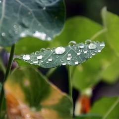 (SpaCitron) Tags: leaf drops tears pluie larmes feuille gouttes rose