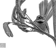 Fantail 17 (Black Stallion Photography) Tags: fantail bird wildlife newzealand nzbirds white flax beady eyes beak black stallion photography igallopfree
