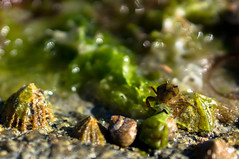 Algae, shells and a lost crab (GLVF) Tags: algae crab algues crabe bretagne breton macro vert green coquillages coquillage shell shells crabs life small tiny beach sea bokeh finistre brittany france countryside loctudy animal faune fauna petit profondeurdechamp