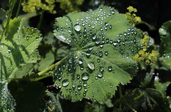Natures Jewels. Rain drops on Lady's Mantle. (Marra Man) Tags: raindrops ladysmantle alchemillamollis