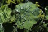 Natures Jewels. Rain drops on Lady's Mantle. (Marra Man) Tags: raindrops ladysmantle alchemillamollis