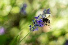 Full Summer (NathalieSt) Tags: exmes bassenormandie nature summer bee abeille lavande lavander bokeh