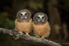 Northern Saw-whet Owl (Turk Images) Tags: aegoliusacadicus aspenparkland northernsawwhetowl alberta birds nsow owls strigidae thorhild