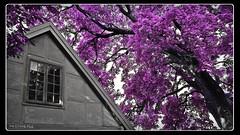 House under the Purple Tree  (frdmk) Tags: house purple tree oslo botanicalgarden nature