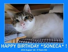 Soneca is a baby today !!! =^.^= (Silvia Inacio) Tags: soneca cat cats gato gatos birthday fdsflickrtoys