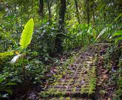 A mossy Path Through the Cloud Forest (julie m r1) Tags: cloudforest costarica trees damp dank green path leaves jungle wild monteverde