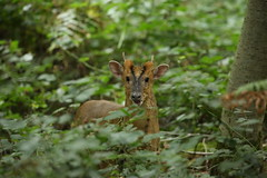 Muntjac (Everetts Imagery) Tags: deer muntjac wildlife canon 100400 5d3 langley mammals nature woods