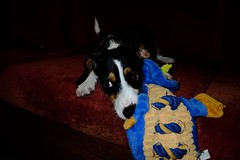 Starr! (tomcogley) Tags: flickrdogs mydog beagle dogs puppy