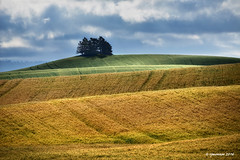 The Palouse_161825 (rjmonner) Tags: palouse washington rural wheat farming agricultural agronomy sky trees loesshills northwest contours green golden