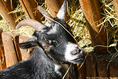 Pygmy Goat (Rick & Bart) Tags: mondesauvage animal aywaille zoo safari belgique belgie rickvink rickbart canon eos70d pygmygoat dwerggeit thebestofday