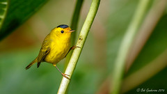 Wilson's Warbler (Bob Gunderson) Tags: birds botanicalgardens california cardellinapusilla goldengatepark northerncalifornia sanfrancisco warblers wilsonswarbler woodwarblers