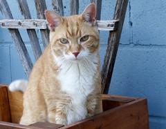 Ziggy Cat - Yard Box 7-24-16 05[Crop] (anothertom) Tags: cats ziggycat box funnyface grumpy meanexpression bored sonyrx100ii