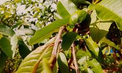 Dulce Guayaba! / Sweet Guava! (elyayo82) Tags: planta verde marron green bron fruta fruit exterior guayaba guava rama branch hoja leaf tree arbol mata fruto luz calor tropico tropical anaco anzoategui venezuela natural naturaleza
