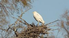 Heron garde boeufs  au parc ornithologique du Pont de Gau - Western Cattle Egret (frimoussec) Tags: heron garde boeufs parc ornithologique pont gau western cattle egret echassier oiseau bird